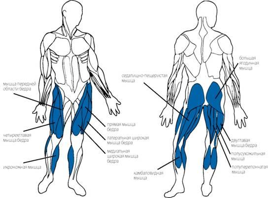 Мышцы ног. Схема расположения